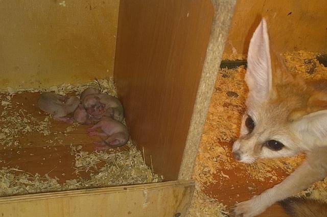 Мама Зайка зорко следит за всеми, кто приближается к ее щенятам.