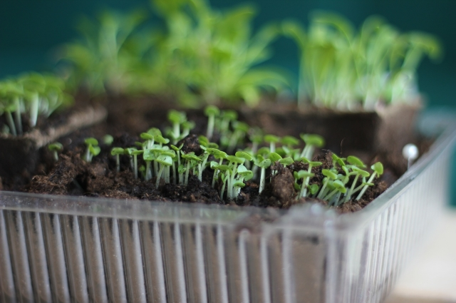 Для выращивания зелени подойдёт любая тара.