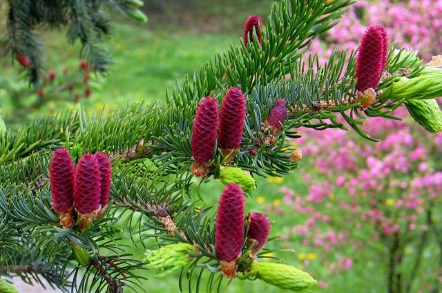 В саду можно увидеть шишки необычного цвета.