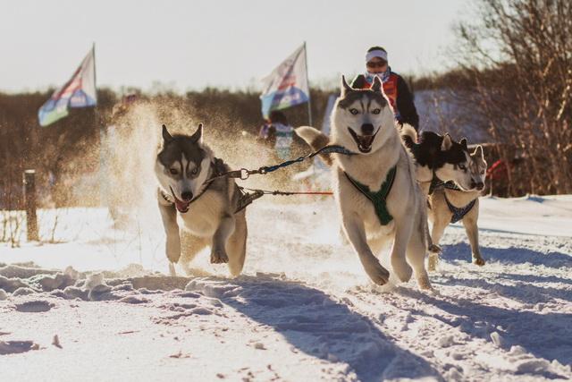 Ездовой спорт, собачьи упряжки