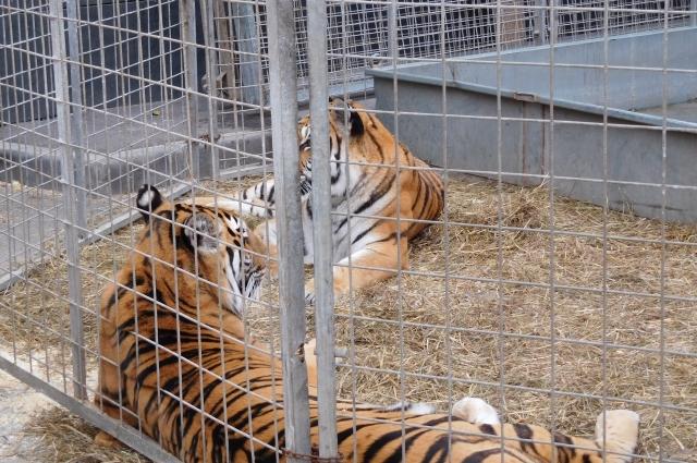 Эти тигры понимают итальянский язык