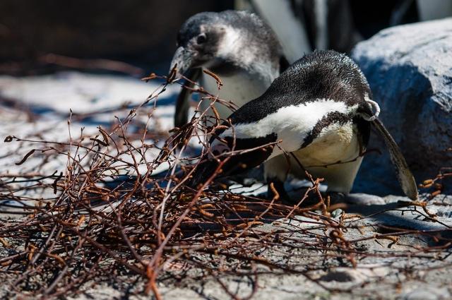 Очковые пингвины на новом месте, прежде всего, взялись за обустройство
