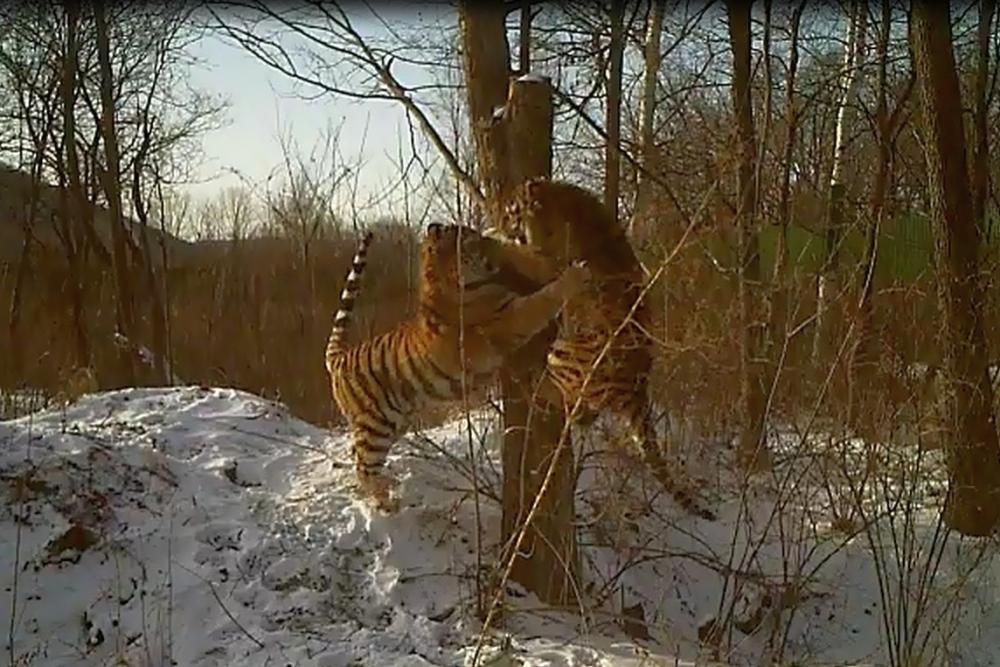 Тигрята очень полюбили старое дерево.