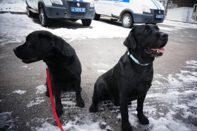 Лабрадо Блек в бирюзовом ошейнике осенью 2017 года нашёл тайник с большой партией гашиша. Рядом с ним пёс-подросток, которого тоже учат искать наркотики.