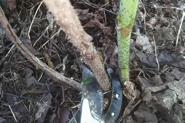 Удаление двулетней ветки малины.