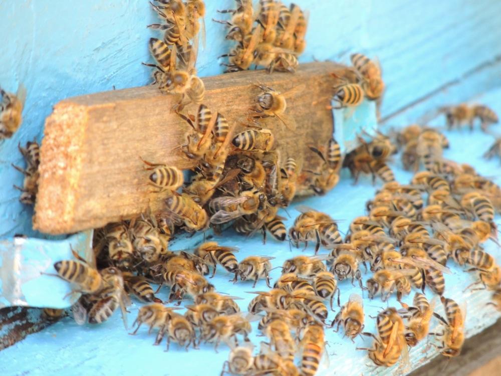 Самая незавидная участь в пчелином семействе у трутня