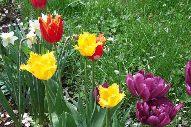 Разноцветные тюльпаны всегда хороши.
