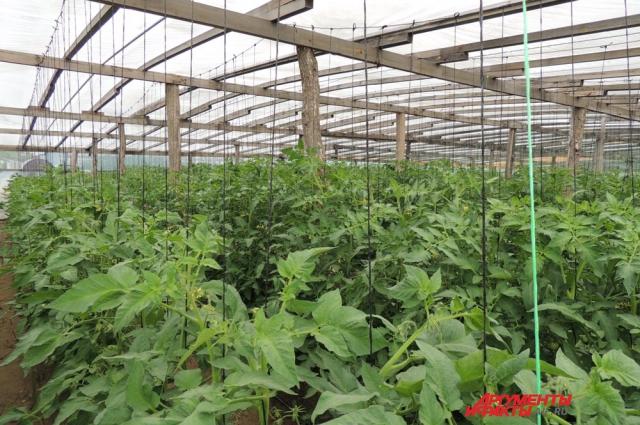 Настоящие помидорные плантации