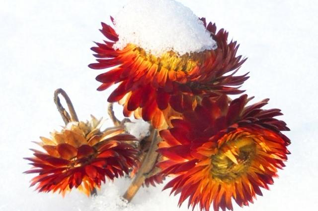 Некоторым цветам и снег нипочём