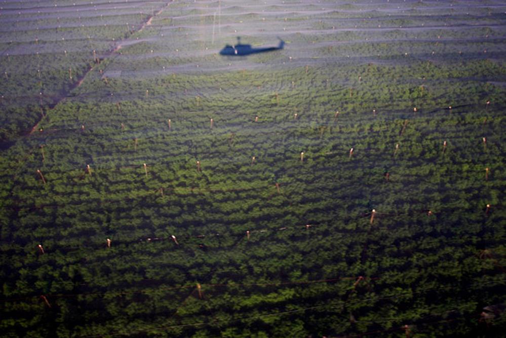 Военный вертолёт над одной из крупнейших незаконных плантаций марихуаны в Мексике