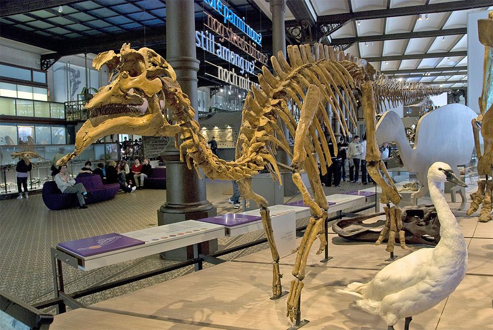 Слепок скелета амурозавра, Брюссель.