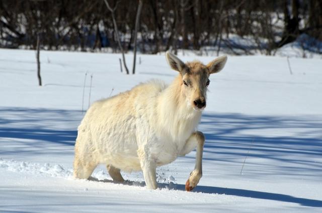 Двух лосей застрели омские браконьеры.