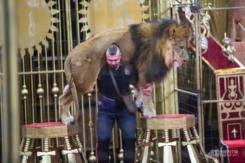 Эдгард отдельно отметил этот трюк Артема - дрессировщик поднимает на плечи льва, который весит около 200 кг