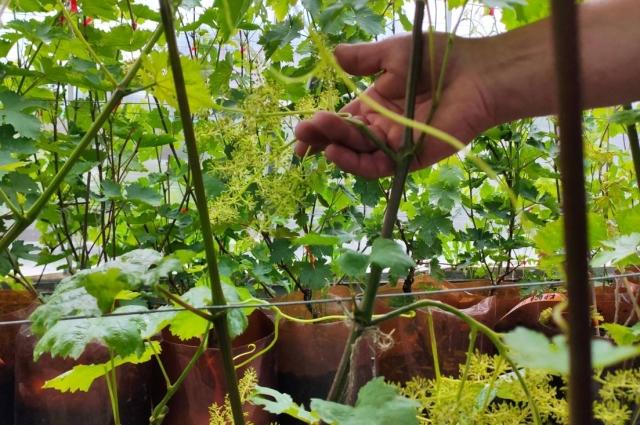 Виноград на дачных участках Тюмени.