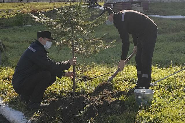 Осужденные высадили 15 деревьев хвойных пород у центральной аллеи исправительного учреждения.