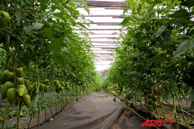 Так выглядят помидоры после стрижки