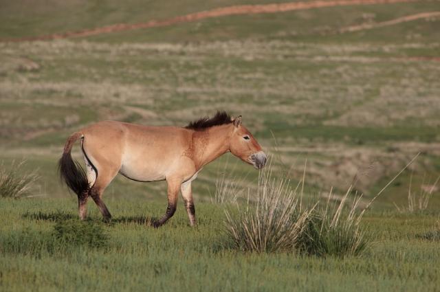 Лошади Пржевальского возрождают в Оренбургской степи уже несколько лет.