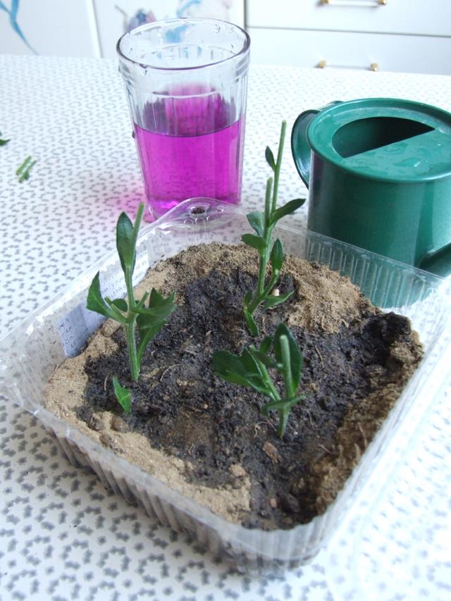 Грунт для хризантем обязательно нужно пролить раствором марганцовки.