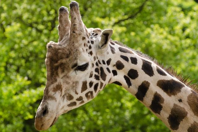 Жираф - самый высокий наземный животный.