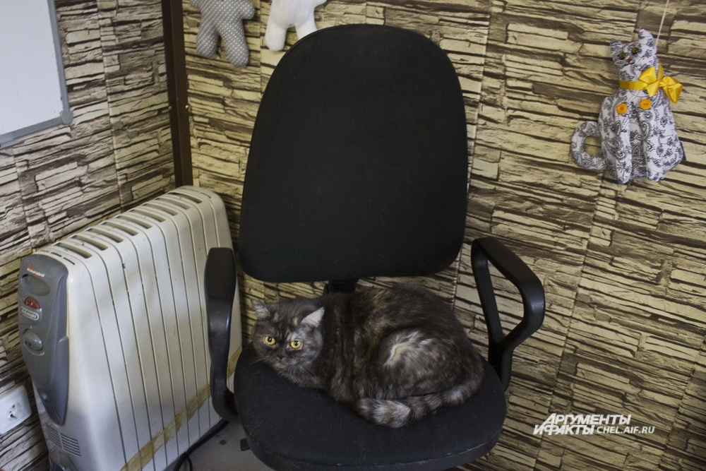 Скромная кошечка Соня предпочитает отдыхать в кресле администратора.