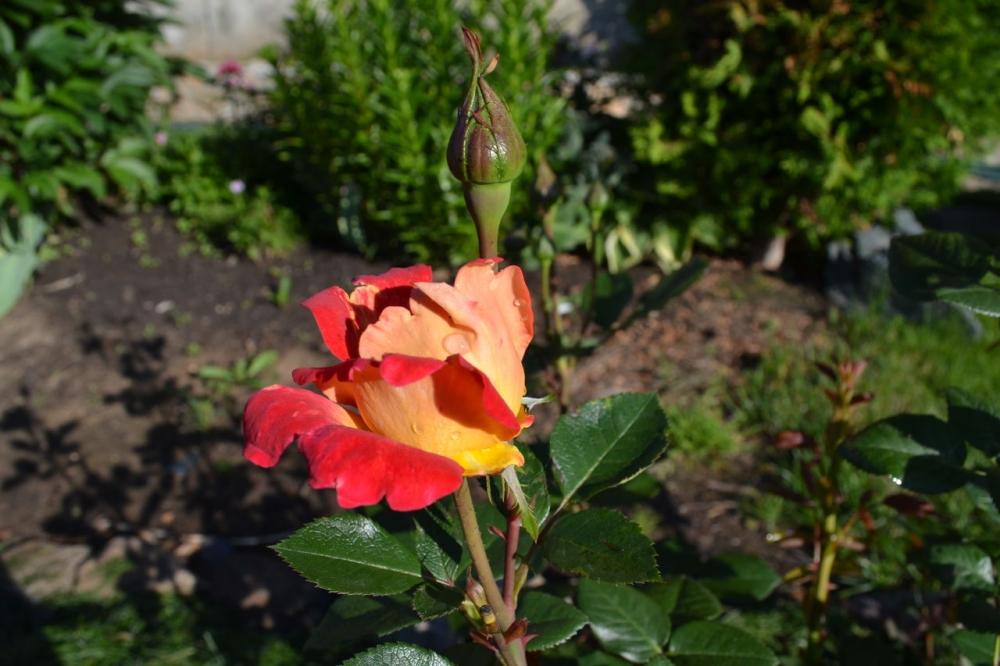 Роза «Ареким Мьям Декор».