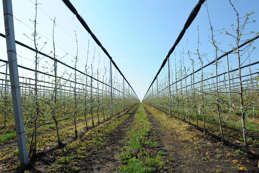 Яблоневый сад в Гиагинской.