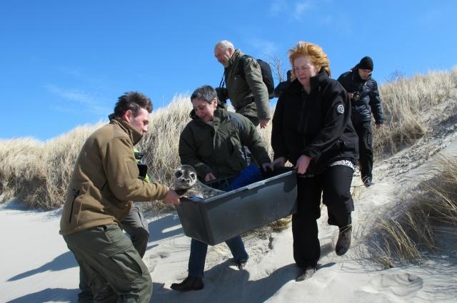 Тюлененка Сережу вернули на побережье.