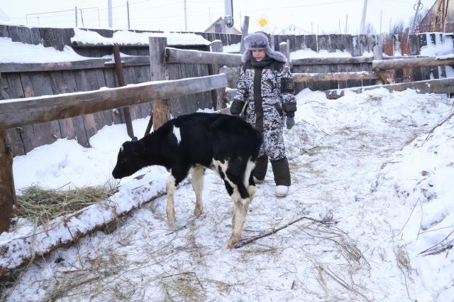 Юный фермер Саша с бычком.
