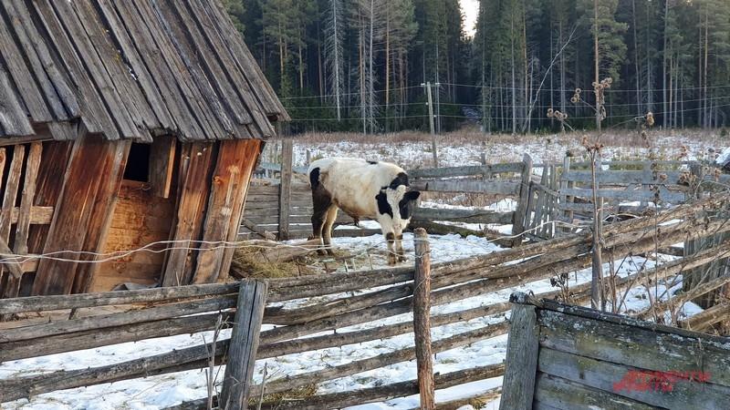 Скотину в Надымовке держали не только жители но и заключенные