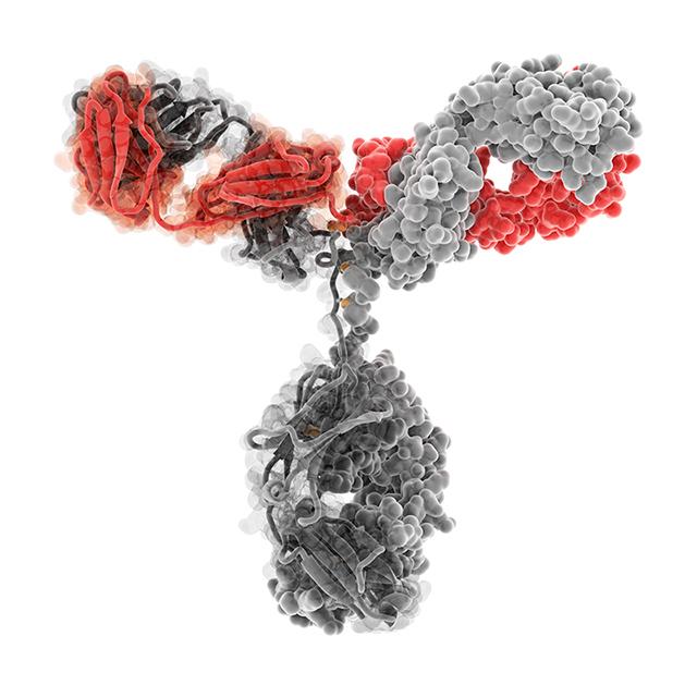 Модель иммуноглобулина G одного из видов антител человека