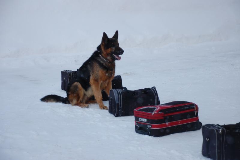 поиск оружия в багаже, служебная собака