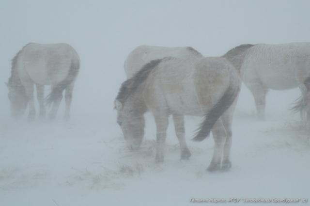 Буран и снег мешают лошадям Пржевальского добывать еду, но они не сдаются.