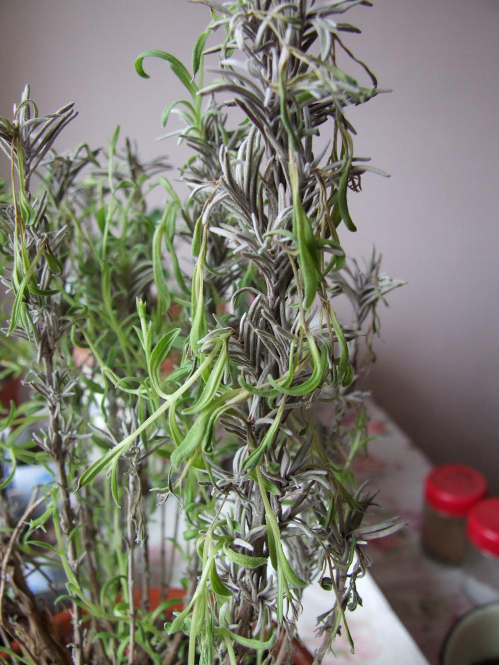 При утрате жизнестойкости растение гибнет.