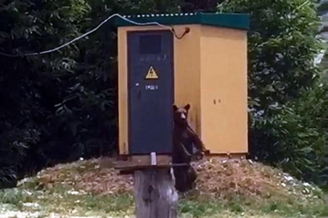 Медведь на фоне трансформаторной будки в Сочи.