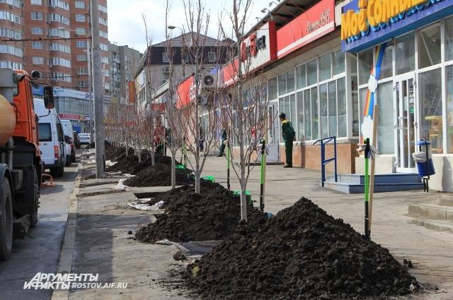 Посаженные клёны на проспекте Сельмаш 7 лет выращивали в питомнике.