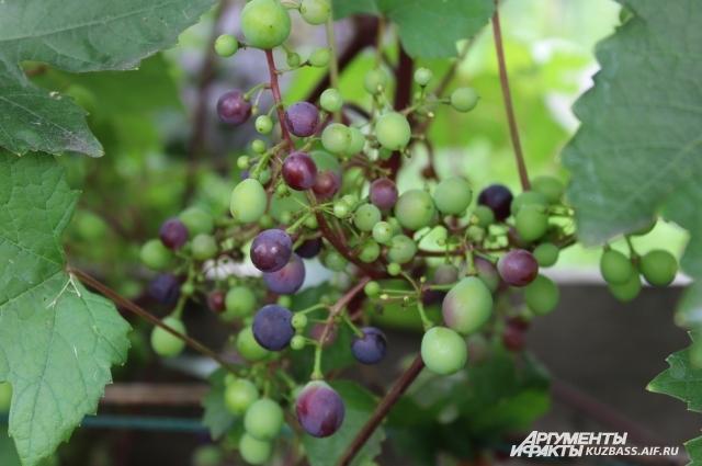 С куста сорта БЧЗ можно снять  до трех ведер урожая.