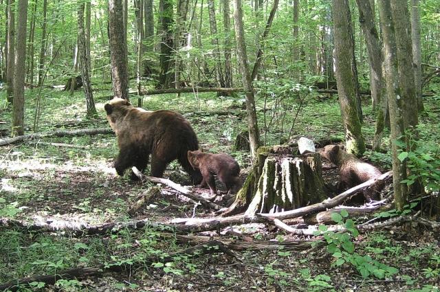 В этом году для медвежат в лесу много корма.