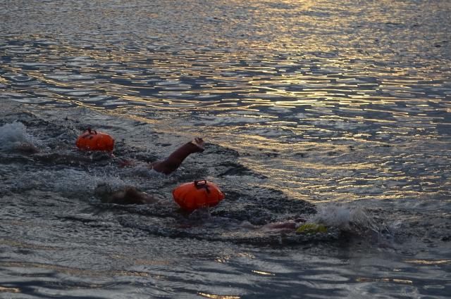 Лучшим моржам потребовалось всего 14 минут, чтобы переплыть залив!