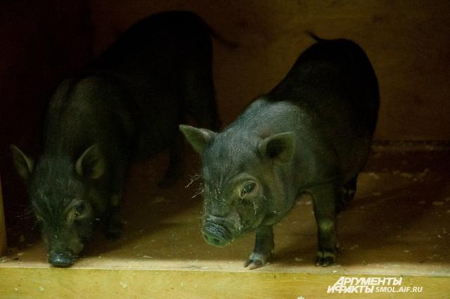 Мини-свинки - крайне непревередливые и очень смышленые.