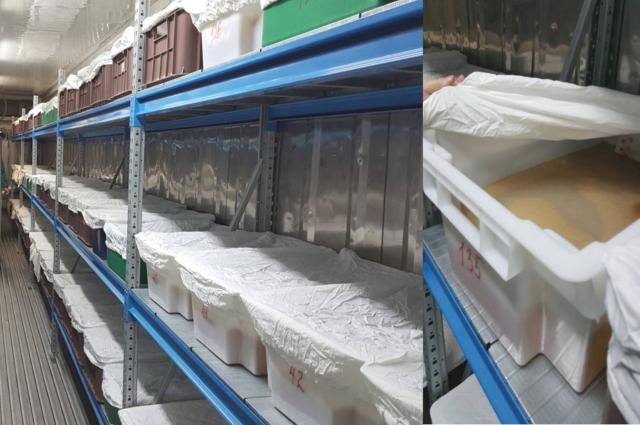 В специальных контейнерах грибная пленка готовится к «заселению» в большие баки.