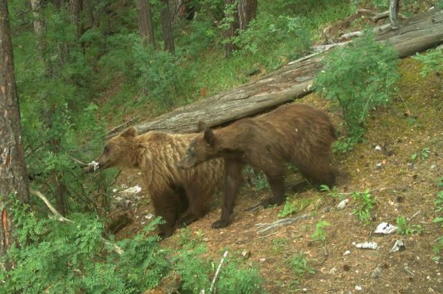 Свалки – вот, что тянет медведей в город.