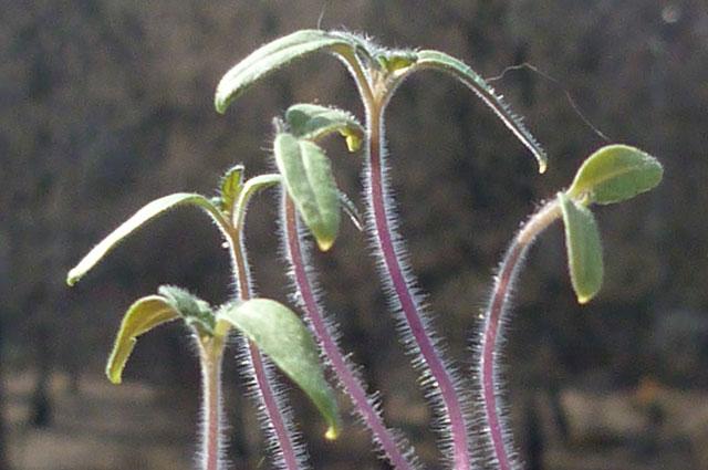 Сеянцы, выросшие при недостатке света.