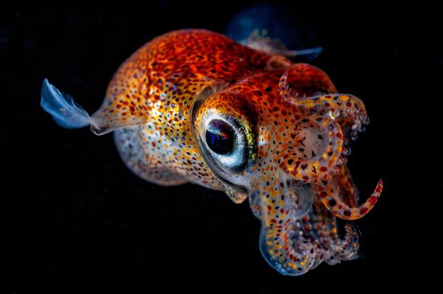 Каракатица сепиола двурогая.