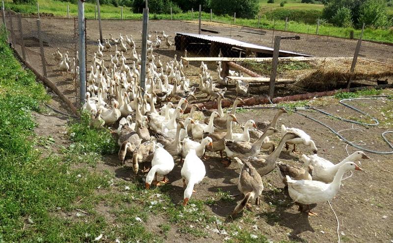 В хозяйстве Прокудиных более 1000 птиц - гусей и кур.