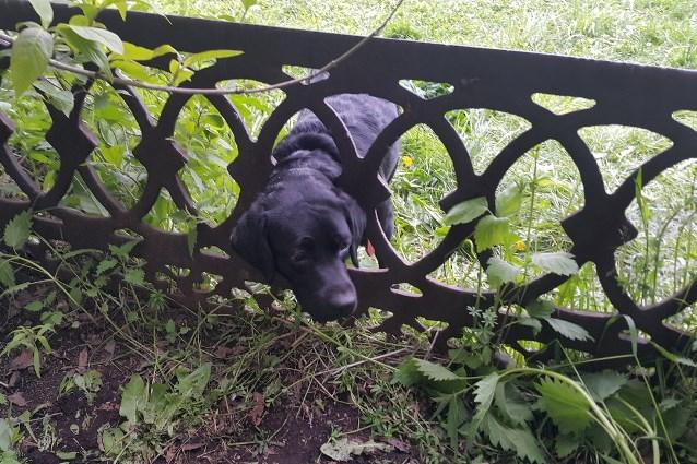 собака в заборе