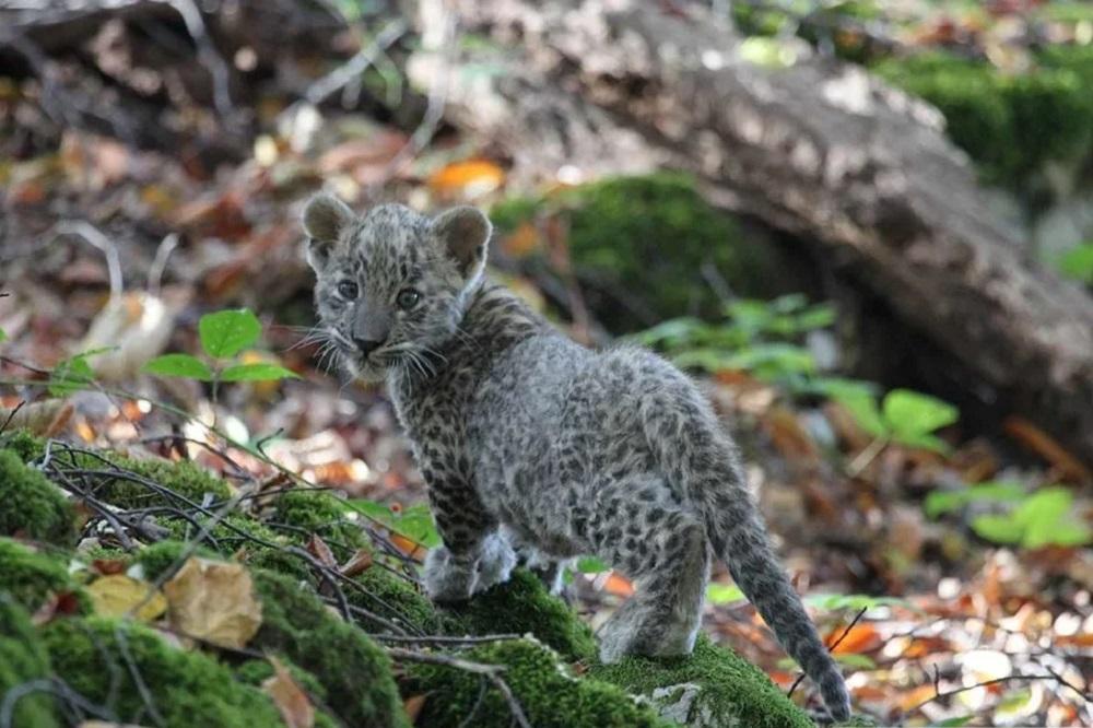 Популяцию пятнистых хищников на Кавказе собираются довести до 50 особей, пока их только шесть.