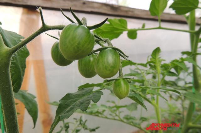 Будущие помидорчики сорта черри
