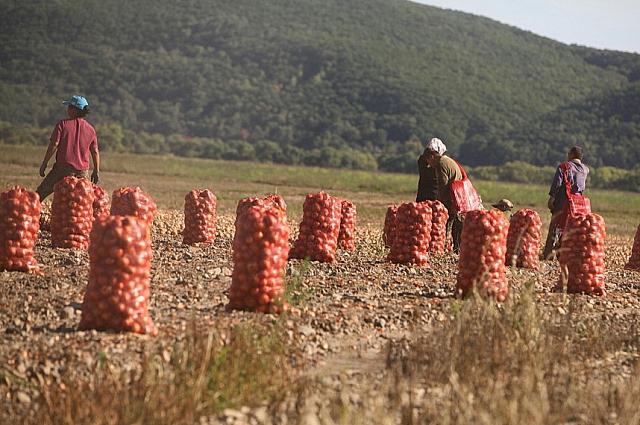 Сбор урожая картофеля в Приморье.