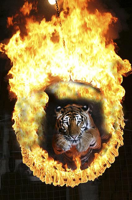 Тигры не выказывают никакого страха, прыгая через огненное кольцо.