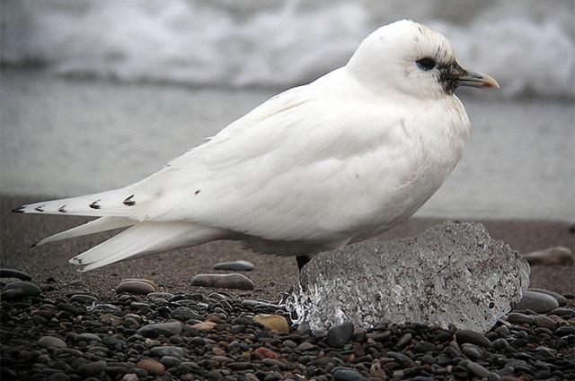 Белая чайка.